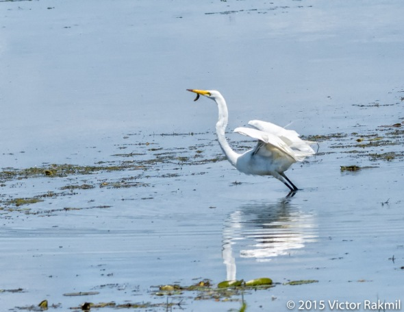 Egret Goes Fishing-4