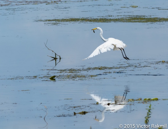 Egret Goes Fishing-5
