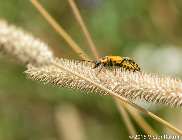 Goldenriod Soldier Beetles