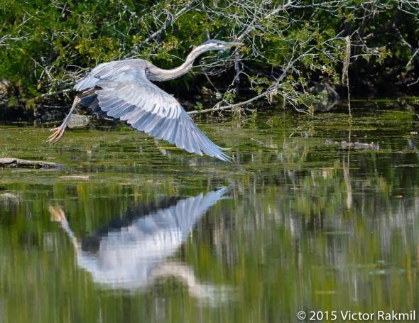 Great blue Heron-Fix
