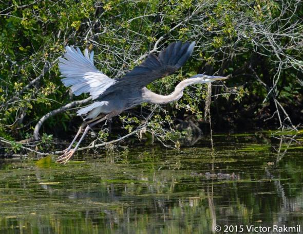 Great Blue Heron In Flight-2