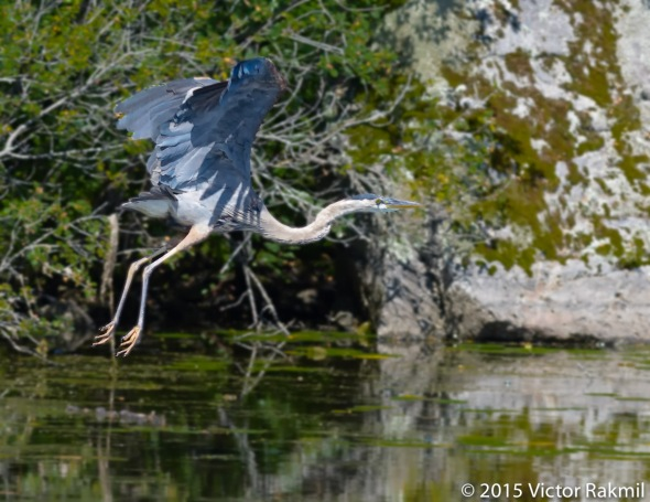 Great Blue Heron In Flight-3
