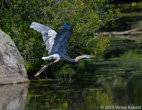 Great Blue Heron In Flight-4