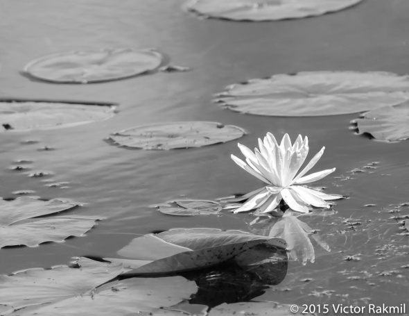 Lillies-3