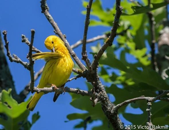 Yellow Warbler-3
