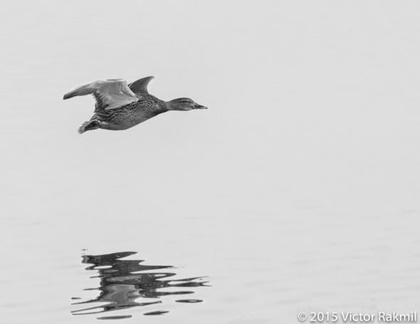 FLYING Ducks-5