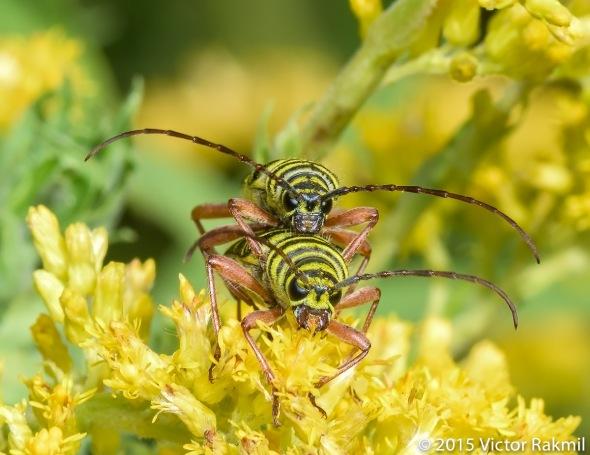 Locust Borers-2