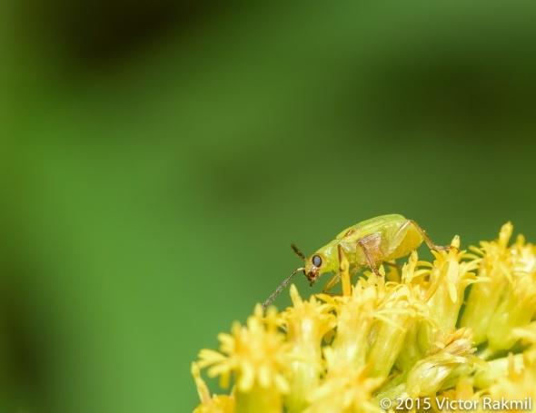 Plant Bug-2