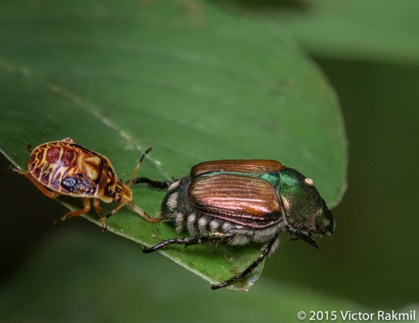 Predatory Stink Bug-2