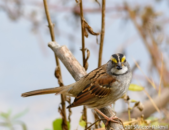White Throated Sparrow-3
