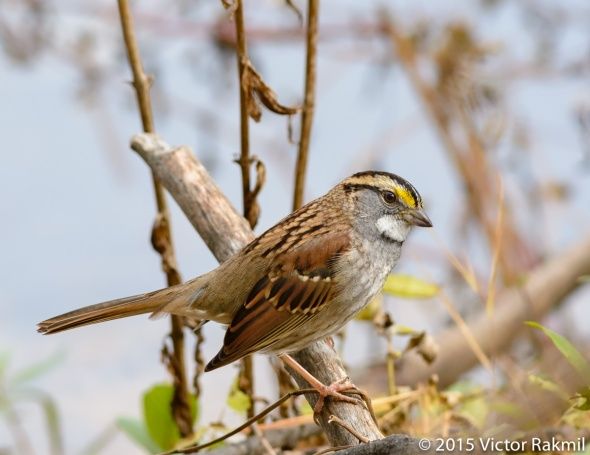 White Throated Sparrow-4