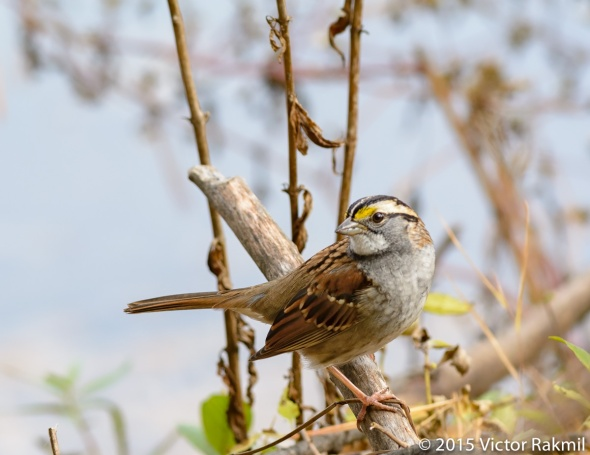 White Throated Sparrow-5