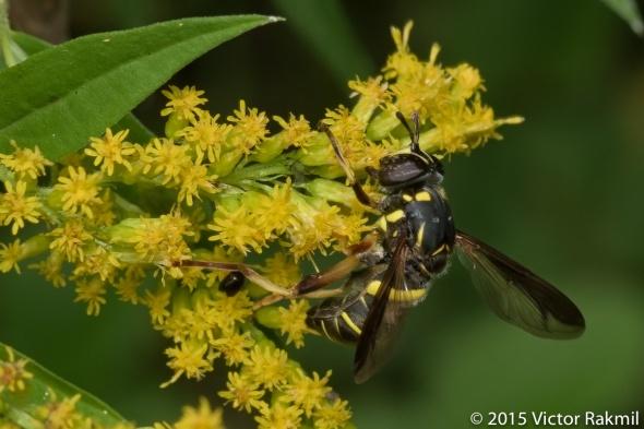 Yellow Jacket Mimic Fly-2