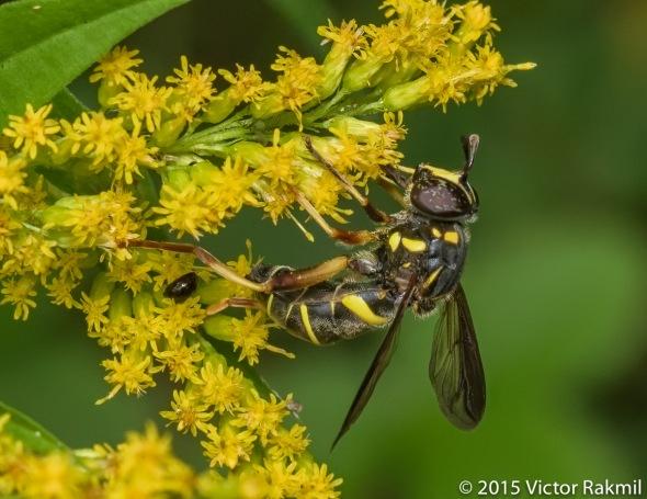 Yellow Jacket Mimic Fly