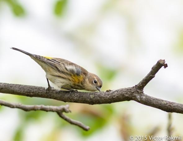Yellow Rumped Warbler-2