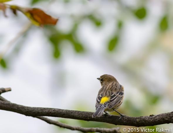 Yellow Rumped Warbler-3