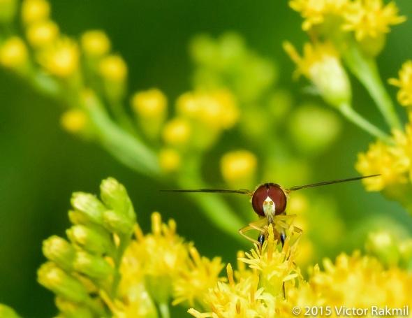 Hover Flies-3