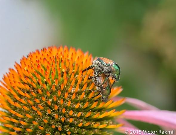 Japanese Beetles-2