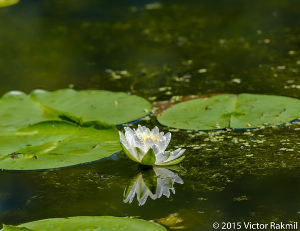 Lilies-2