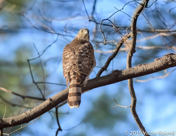 Sharp Shinned Hawk-2
