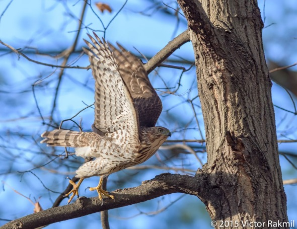 Sharp Shinned Hawk-3