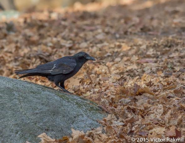 Crow-3