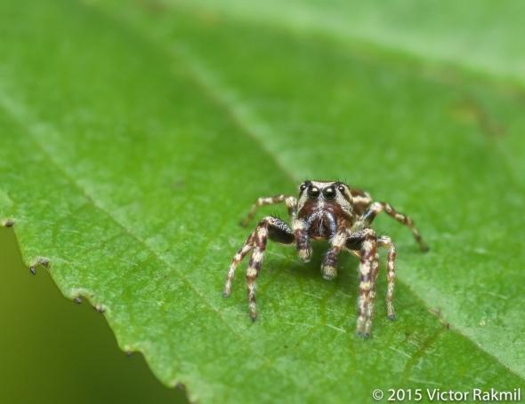 Daring Bold Jumping Spider-2