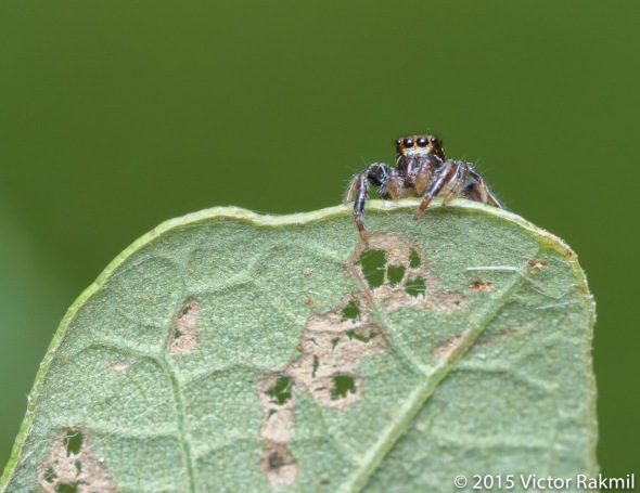 Daring Bold Jumping Spider-3