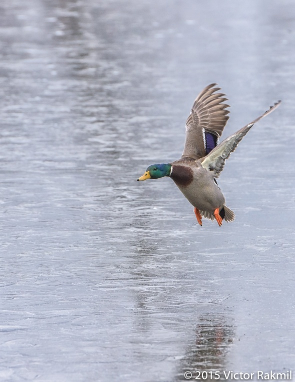 Duck Flying Over Ice-2