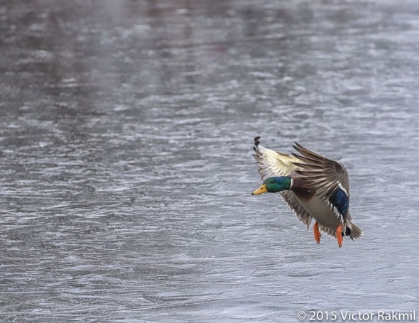 Duck Flying Over Ice-3