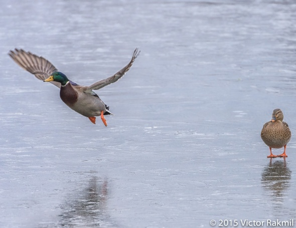 Duck Flying Over Ice