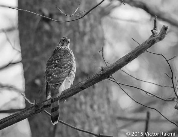 Sharp-Shined Hawk