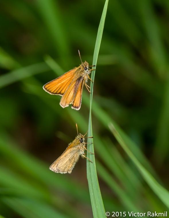 Skipper Butterflies-2
