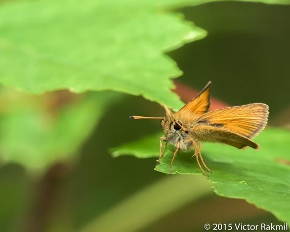 Skipper Butterflies-3