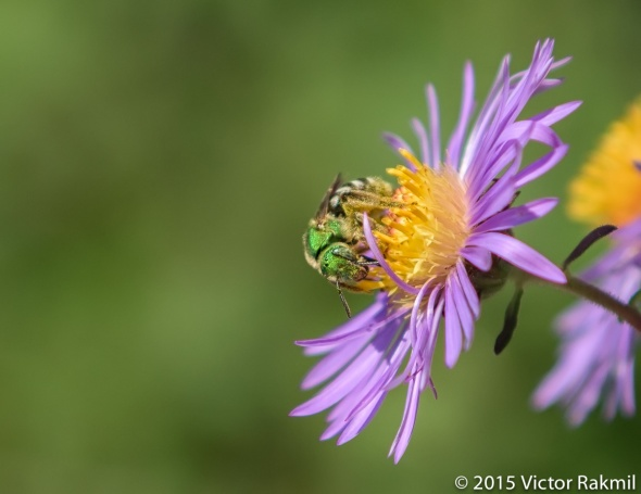 Sweat Bee-2