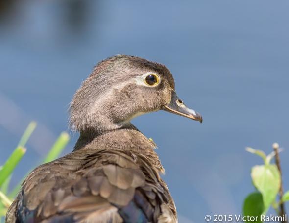 Wood Ducks (Four Photographs)-2