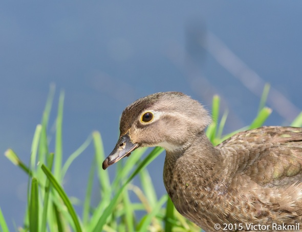 Wood Ducks (Four Photographs)