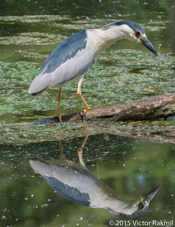 Black-Crowned Heron-3