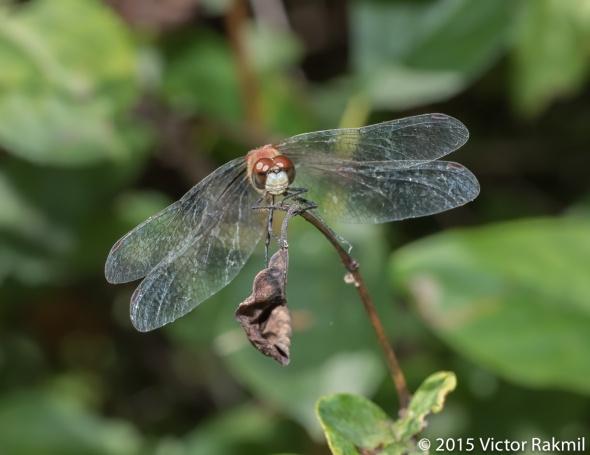 Dragonflies-2