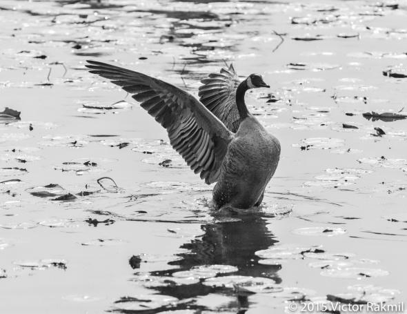 Goose -4