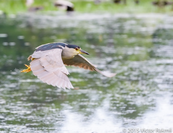 Black-Crwned Night Heron-2