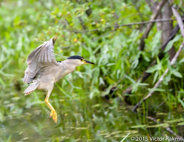 Black-Crwned Night Heron-3