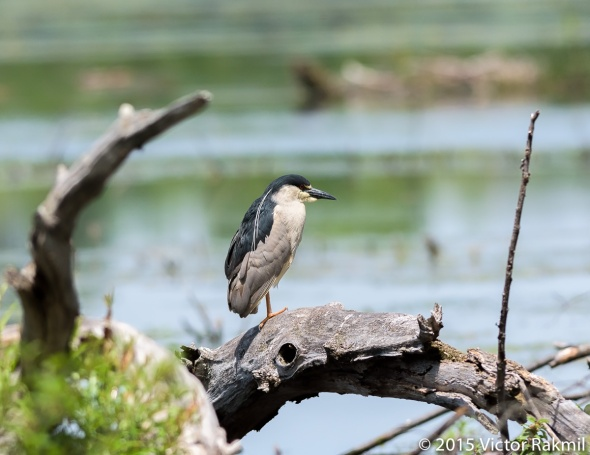 Black-Crwned Night Heron