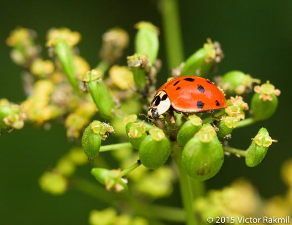 Lady Bugs-2