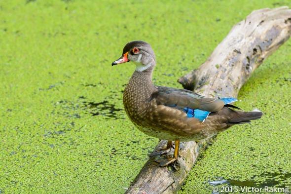 Male Wood Duck-2