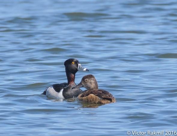 Ring-Necked Ducks-2