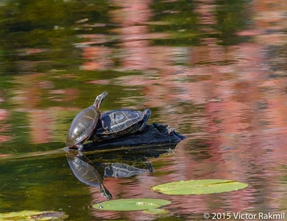 Turtles at Play-2