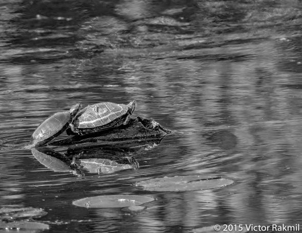 Turtles at Play HDR