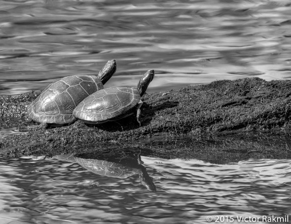 Turtles HDR