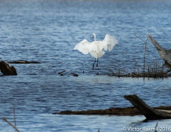 Egret-2
